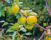 Äpplen på äppleträdfilial Royaltyfri Bild