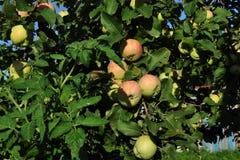 Äpplen på äppletree Royaltyfri Fotografi