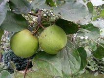 äpplen på en appletree Royaltyfri Fotografi