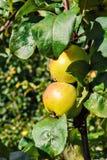 Äpplen på en filial Royaltyfria Foton