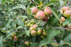 Äpplen på en filial Royaltyfri Bild