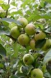 Äpplen på en filial Royaltyfri Fotografi
