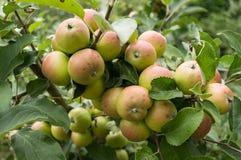 Äpplen på en filial Arkivbilder