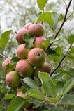 Äpplen på en filial Fotografering för Bildbyråer