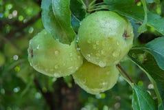 Äpplen på en filial Arkivbild
