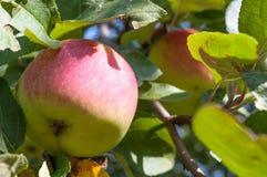 Äpplen på en filial. Arkivfoton