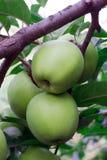Äpplen på en filial Arkivfoto