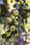 Äpplen på en filial Royaltyfri Foto