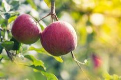 Äpplen på en filial i trädgården ny red för äpplen Royaltyfria Foton