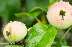 Äpplen på en filial med vattendroppar Royaltyfri Fotografi
