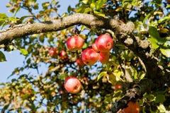 Äpplen på en tree Fotografering för Bildbyråer