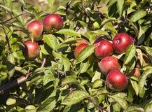 Äpplen på en tree Royaltyfri Bild