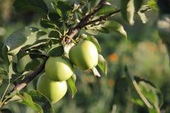 Äpplen på enträd filial Fotografering för Bildbyråer