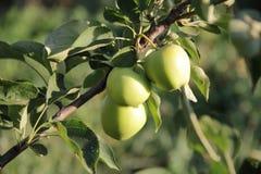 Äpplen på enträd filial Royaltyfria Foton