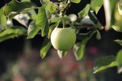 Äpplen på enträd filial Royaltyfri Bild