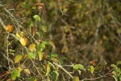 Äpplen på ett träd arkivfoton