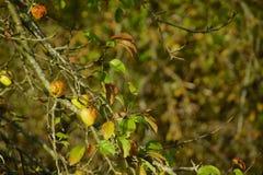 Äpplen på ett träd royaltyfria foton