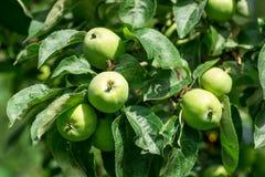 Äpplen på ett träd Royaltyfria Bilder