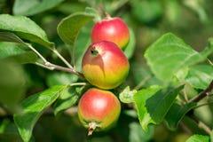 Äpplen på ett träd Fotografering för Bildbyråer
