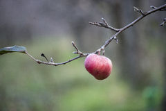 Äpplen på ett träd i december Arkivbild