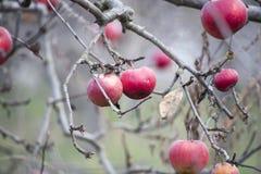 Äpplen på ett träd i december Fotografering för Bildbyråer