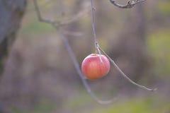 Äpplen på ett träd i december Arkivbilder