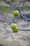 Äpplen på ett träd i december Royaltyfria Bilder