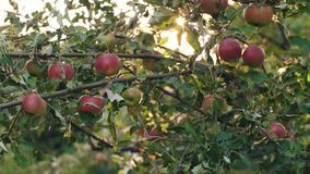 Äpplen på ett träd på solnedgången