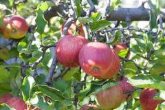 Äpplen på fatta Royaltyfria Bilder