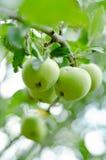 Äpplen på filial Royaltyfri Foto