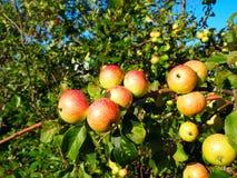 Äpplen på filial Arkivfoto