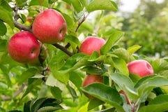 Äpplen på filial Arkivbild