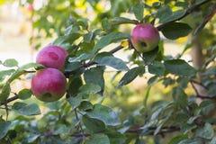 Äpplen på filialen av ett träd i höst arbeta i trädgården Royaltyfri Foto