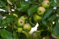 Äpplen på filialer i en trädgård royaltyfria foton