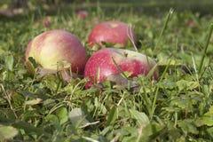 Äpplen på jordning Arkivfoto