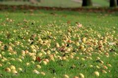Äpplen på jordningen Arkivbild
