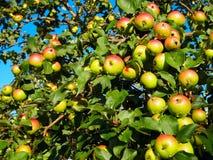 Äpplen på träd Fotografering för Bildbyråer