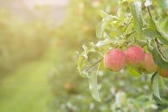 Äpplen på träd i den Apple fruktträdgården Arkivbilder