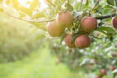 Äpplen på träd i den Apple fruktträdgården