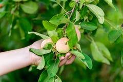 Äpplen på träd i trädgården Royaltyfri Bild