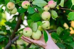 Äpplen på träd i trädgården Royaltyfri Fotografi