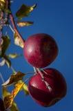 Äpplen på trädet Arkivbilder