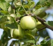 Äpplen på trädet i natur Royaltyfria Bilder