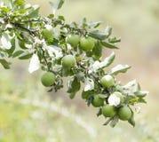Äpplen på trädet i natur Royaltyfria Foton