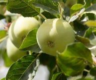 Äpplen på trädet i natur Arkivfoto