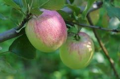 Äpplen på trädslutet upp Royaltyfri Foto