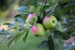 Äpplen på tre Fotografering för Bildbyråer