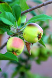 Äpplen på tree Arkivbild