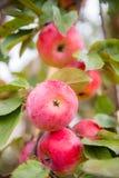 Äpplen på tree Fotografering för Bildbyråer