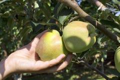Äpplen på tree Arkivfoton